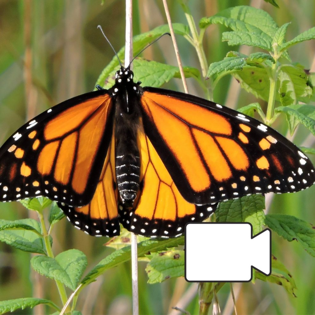 Monarch Butterfly in grass