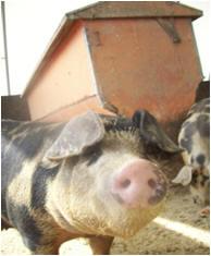 martha-pigs